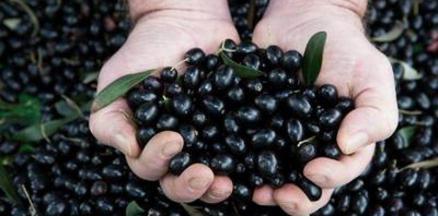 Huile d'olive corse, 10 ans d'AOP